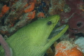 Very large green moray just hanging in the cave, new camera so not perfect but he is so cool.