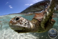 Green turtle, Bora bora lagoon, Canon eos 7D, Hugyfot Housing, natural light