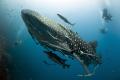 Whale shark. Nikon D700, Sigma 15 mm, Мagic filter.