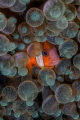Clownfish swimming in an anemone
