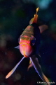 Anthias anthias