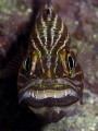 Tiger cardinalfish with eggs, Koh Haa