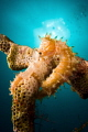 Thorny seahorse under the Sun