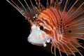Portrait of a lion fish lite up with snoot