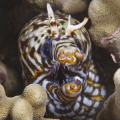 Marine version of Alf - Dragon Moray eel.
