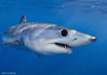 Off the coast of California you can with right patience find the mysterious Mako shark