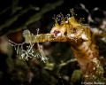 Winged pipe fish portrait