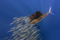 Sailfish hunting sardines about 50 miles off the coast of isla de mujeres, using a nikon aw1.