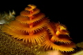 hardcoral tubeworms