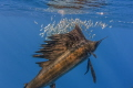Sailfish closeup
