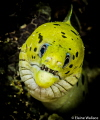 Fimbriated moray staring match