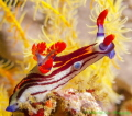 This colorful Nembrotha nudibranch was photographed near Komodo Island, Indonesia. Used a Canon G12 with Ikelite housing and Inon UCL 360 wet diopter and a single Ds51 strobe I