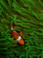 Clown fish in green anemone