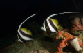 A beautiful pair of Longfin Bannerfish - Heniochus acuminatus, Truk (Chuuk) Lagoon