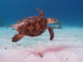 Turtle in Brac