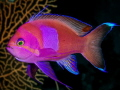 Squarespot Anthias took awhile to hold still