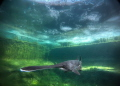 Paddlefish in Temperate water.. cold  green.. under the ice