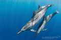 Soul savers  Spinner dolphins in Hawaii