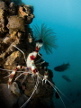Banded Coral Shrimp under the peer