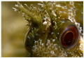 Blenny  close up