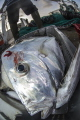 Deadly trawlers_ Caribbean Moonfish   Selene brownii