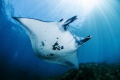 Manta Ray at Manta Point Nusa Penida Bali Indonesia