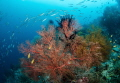 Sea fan, Raja Ampat