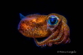 Mediterranean Bobtail Squid, Sepiola rondeleti, Night dive