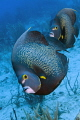 French angelfish are not skittish, but it's unusual for them to approach a diver spontaneously like this friendly couple did.