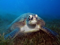 Female green turtle eating seagrass