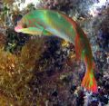 Clown Wrasse. A95 Canon