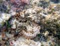 Spotted Scorpionfish, Excellent Camoflauge. Canon A95