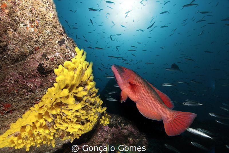 Weekly Underwater Hot Shot – Week 51 by Gonçalo Gomes